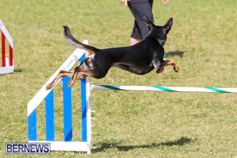 Dogs-Agility-Bermuda-November-7-2015-7
