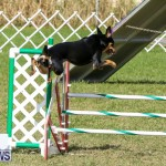 Dogs Agility Bermuda, November 7 2015-8