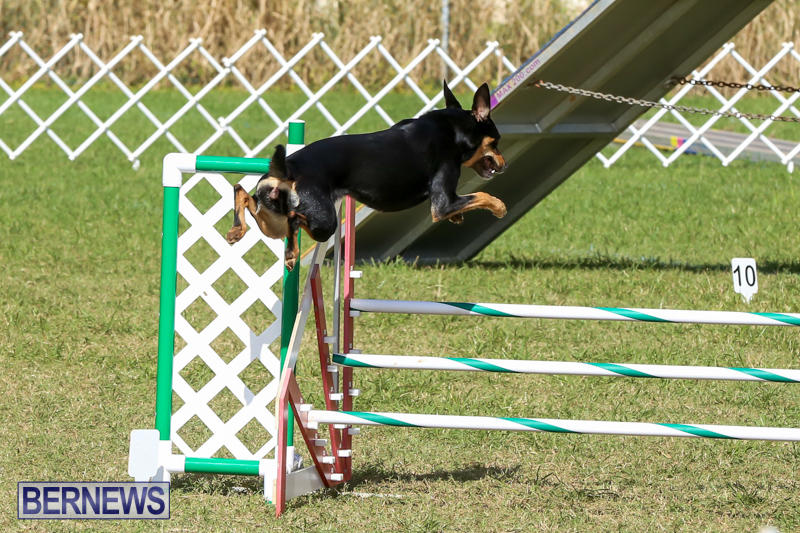 Dogs-Agility-Bermuda-November-7-2015-8