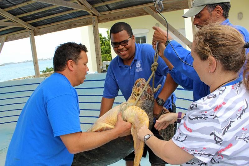 Daisy, the loggerhead turtle Bermuda April 11 2016 (3)