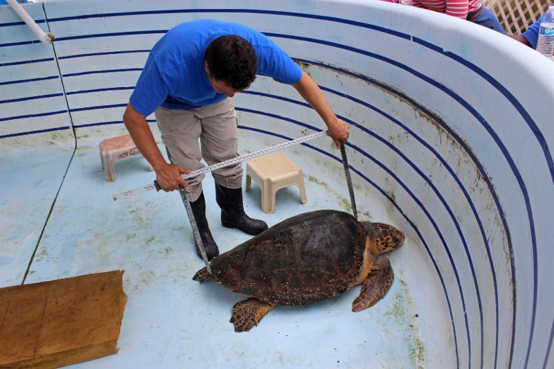 Daisy, the loggerhead turtle Bermuda April 11 2016 (4)