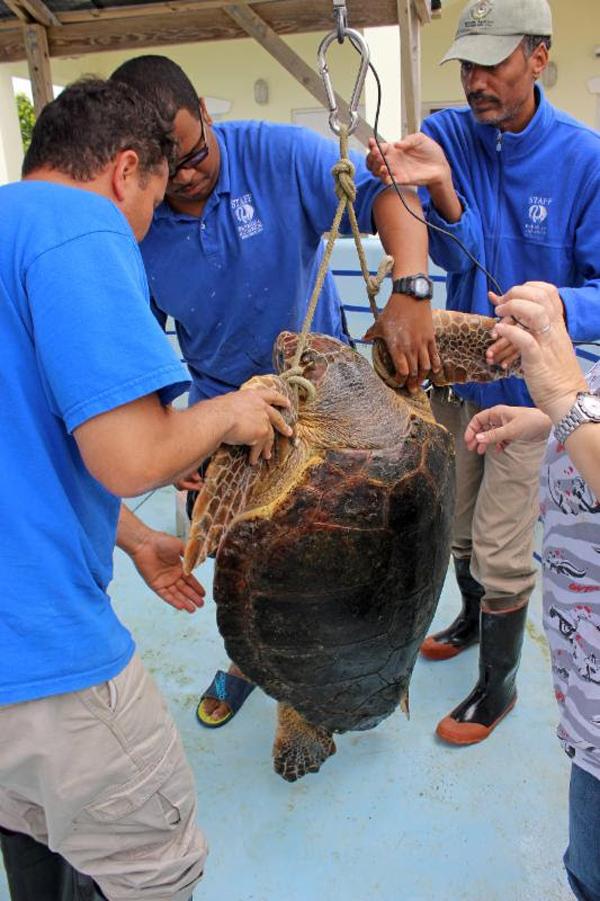 Daisy, the loggerhead turtle Bermuda April 11 2016 (7)