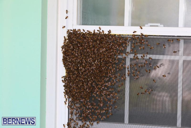 bees bermuda generic 32414 (2)