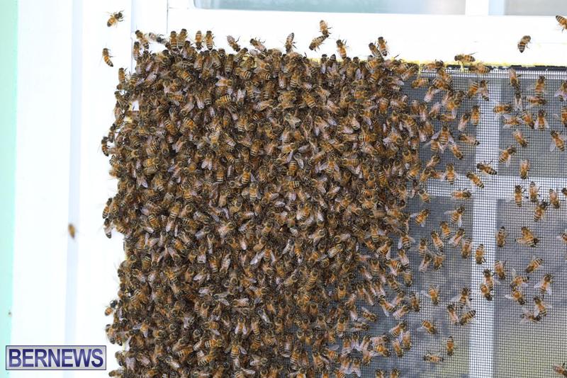 bees bermuda generic 32414 (3)