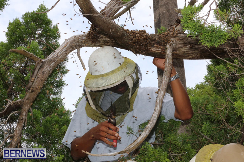 Bermuda-bee-swarm-june-23-2016-10