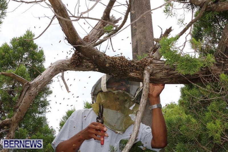 Bermuda-bee-swarm-june-23-2016-11