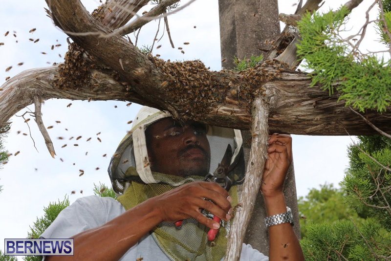 Bermuda-bee-swarm-june-23-2016-12