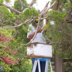 Bermuda bee swarm june 23 2016  (13)