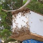 Bermuda bee swarm june 23 2016  (14)