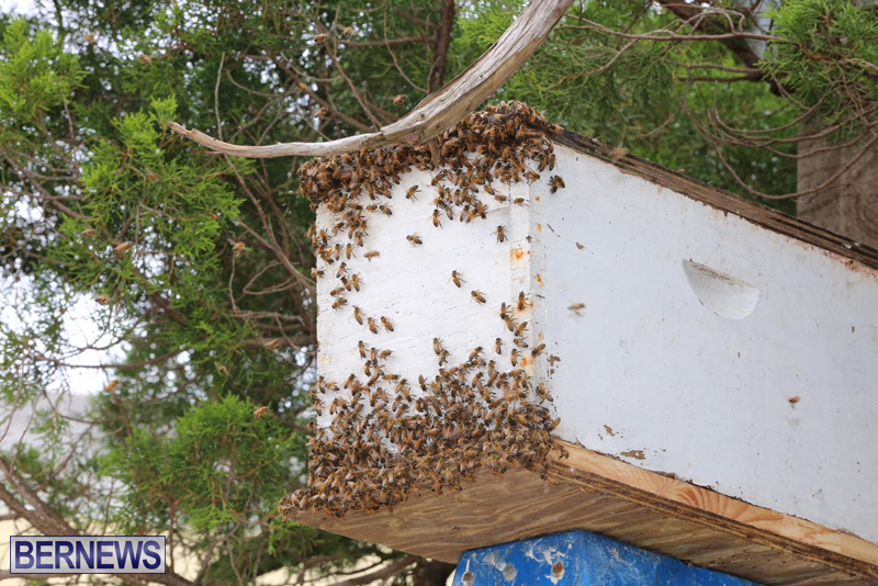 Bermuda-bee-swarm-june-23-2016-14