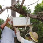 Bermuda bee swarm june 23 2016  (19)