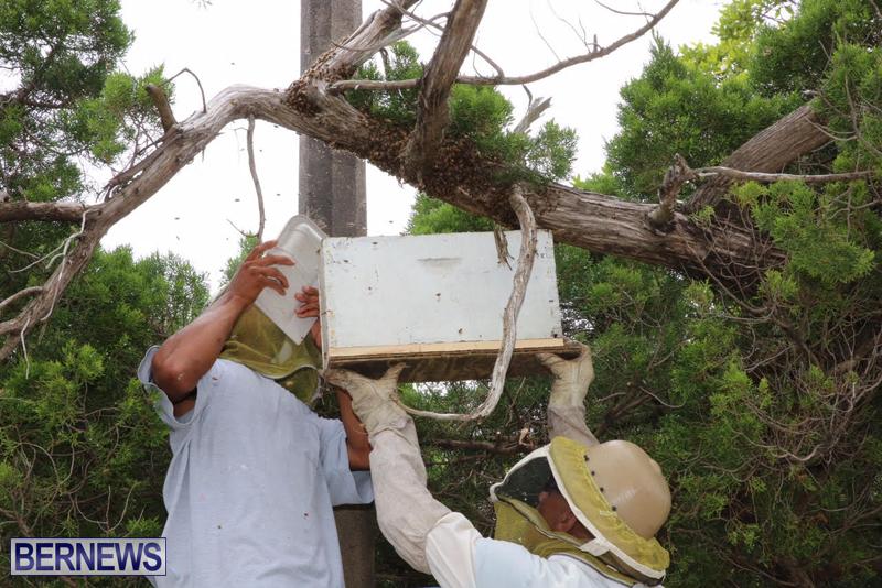 Bermuda-bee-swarm-june-23-2016-19