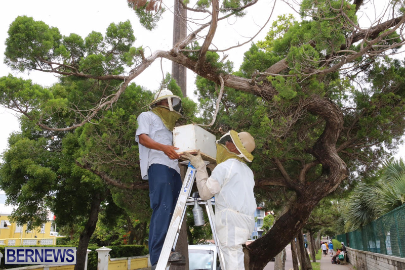 Bermuda-bee-swarm-june-23-2016-21