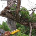 Bermuda bee swarm june 23 2016  (22)