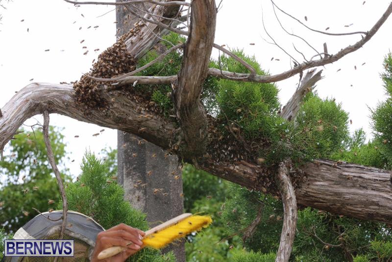 Bermuda-bee-swarm-june-23-2016-22