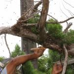 Bermuda bee swarm june 23 2016  (23)