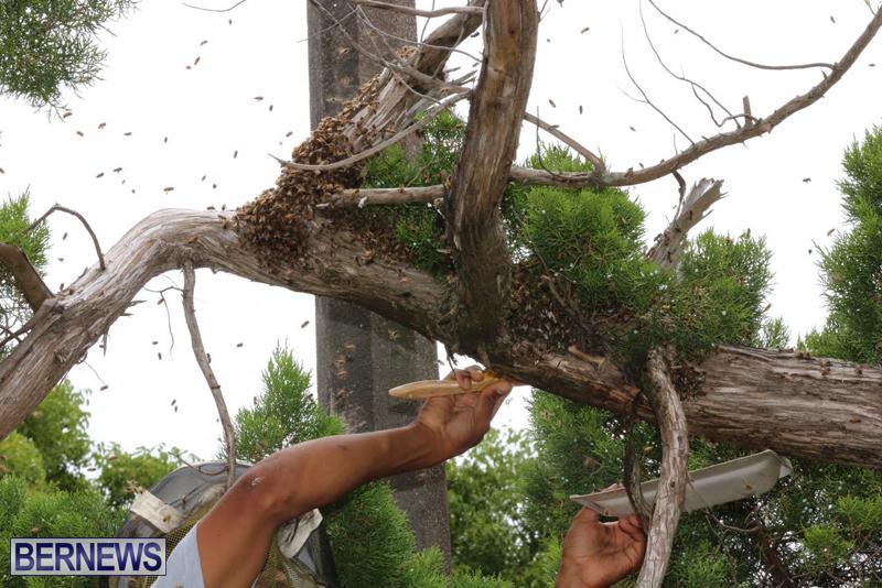 Bermuda-bee-swarm-june-23-2016-23
