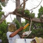 Bermuda bee swarm june 23 2016  (24)