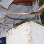 Bermuda bee swarm june 23 2016  (8)