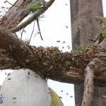 Bermuda bee swarm june 23 2016  (9)