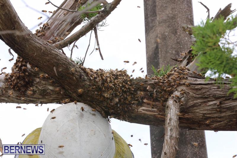 Bermuda-bee-swarm-june-23-2016-9