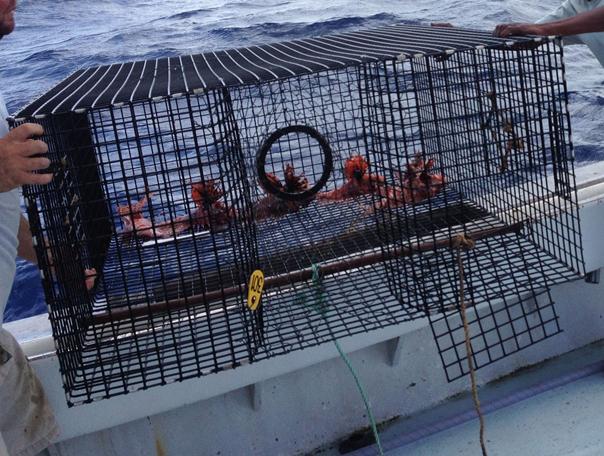 Lionfish Trap with lionfish catch Bermuda June 10 2016