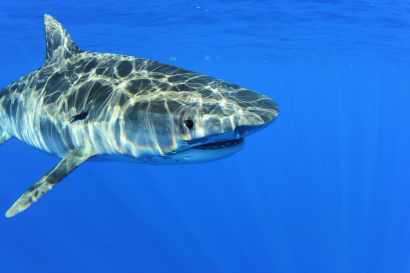 OV_TIGER TAG D0139 Ocean Tech Bermuda July 2016