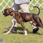 Bermuda Kennel Club Dog Show, October 23 2016-110