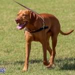 Bermuda Kennel Club Dog Show, October 23 2016-113