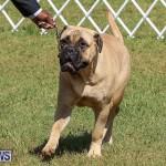 Bermuda Kennel Club Dog Show, October 23 2016-134