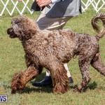Bermuda Kennel Club Dog Show, October 23 2016-141
