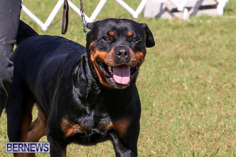 Bermuda-Kennel-Club-Dog-Show-October-23-2016-147