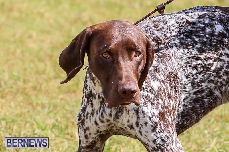 Bermuda-Kennel-Club-Dog-Show-October-23-2016-152
