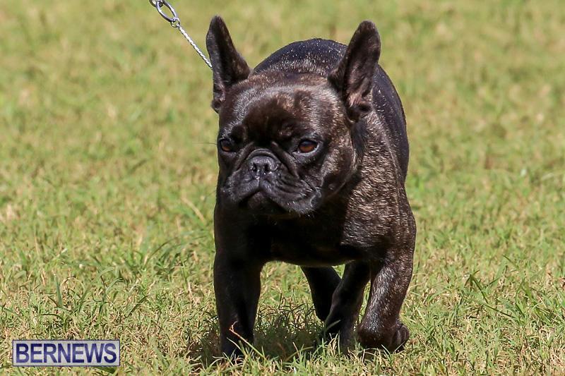 Bermuda-Kennel-Club-Dog-Show-October-23-2016-155