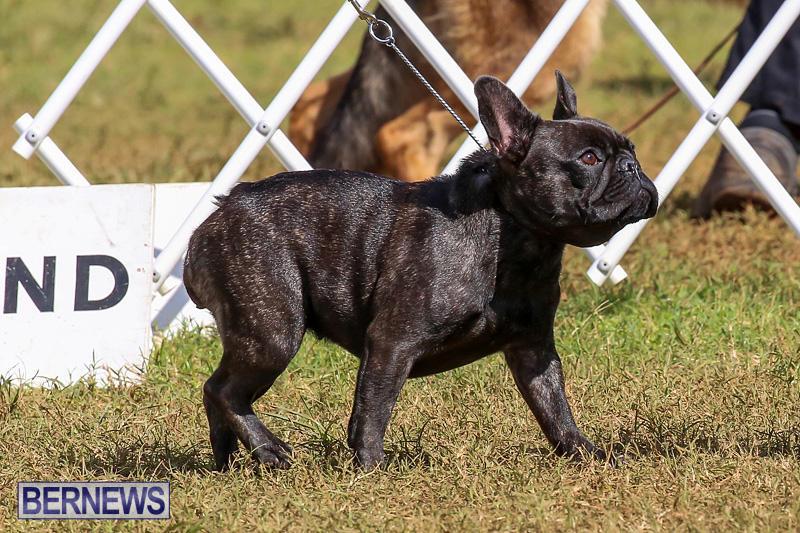 Bermuda-Kennel-Club-Dog-Show-October-23-2016-157