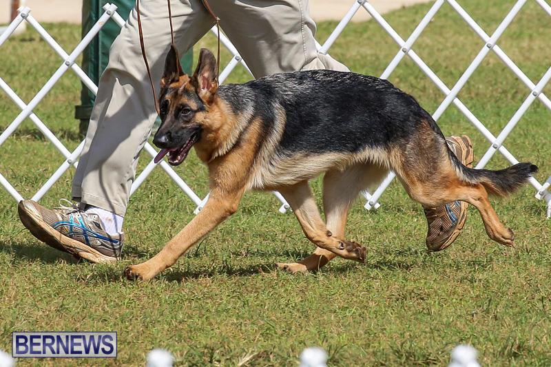 Bermuda-Kennel-Club-Dog-Show-October-23-2016-158