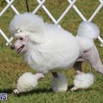 Bermuda Kennel Club Dog Show, October 23 2016-165