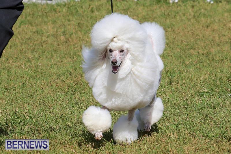 Bermuda-Kennel-Club-Dog-Show-October-23-2016-166