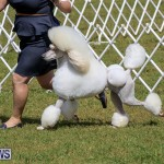 Bermuda Kennel Club Dog Show, October 23 2016-174