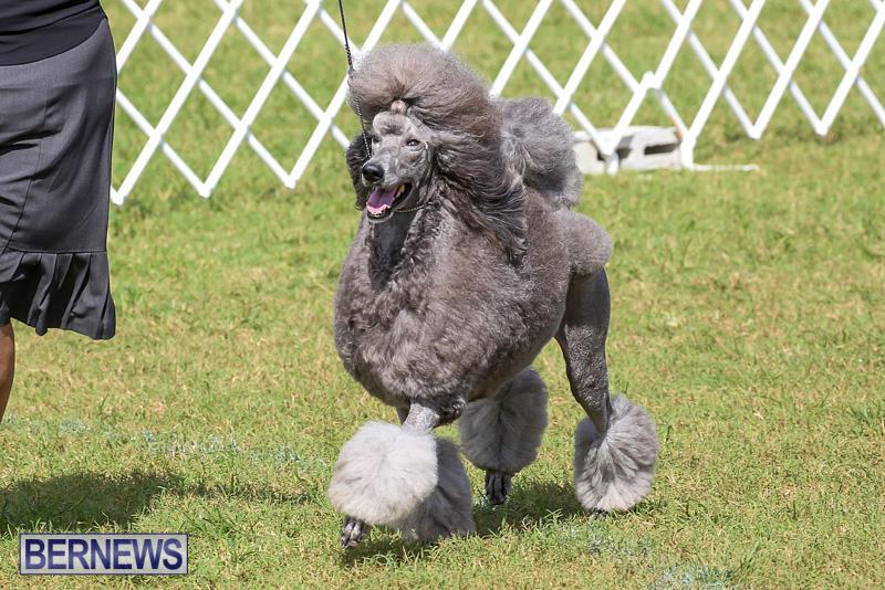 Bermuda-Kennel-Club-Dog-Show-October-23-2016-179