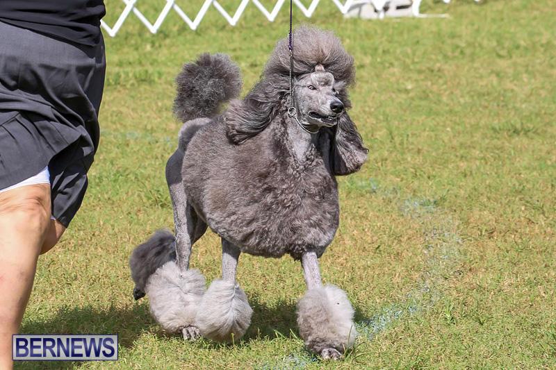 Bermuda-Kennel-Club-Dog-Show-October-23-2016-180