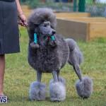 Bermuda Kennel Club Dog Show, October 23 2016-189