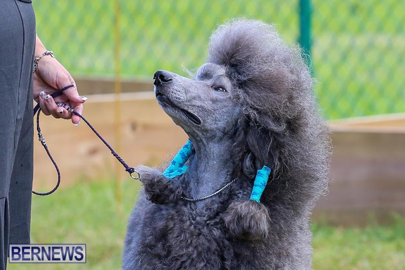 Bermuda-Kennel-Club-Dog-Show-October-23-2016-190