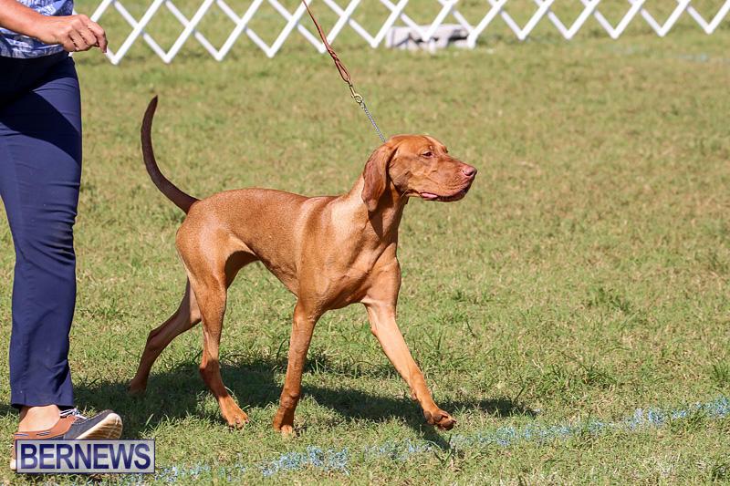 Bermuda-Kennel-Club-Dog-Show-October-23-2016-207