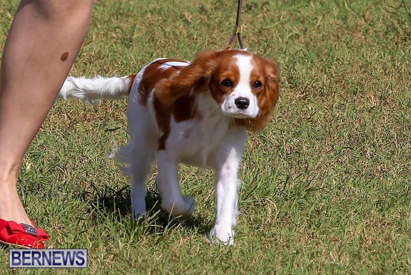 Bermuda-Kennel-Club-Dog-Show-October-23-2016-27
