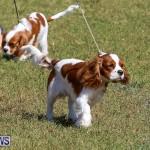 Bermuda Kennel Club Dog Show, October 23 2016-32