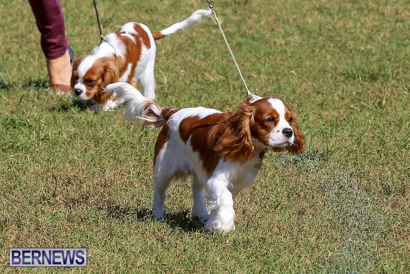 Bermuda-Kennel-Club-Dog-Show-October-23-2016-32