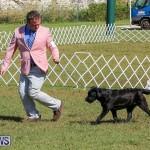 Bermuda Kennel Club Dog Show, October 23 2016-66