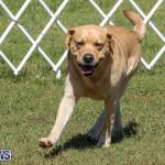 Bermuda Kennel Club Dog Show, October 23 2016-69