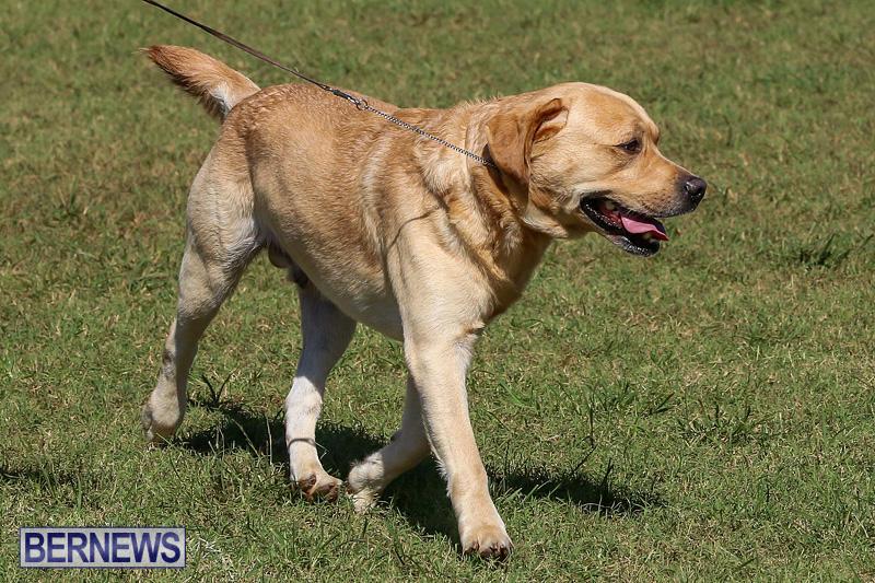 Bermuda-Kennel-Club-Dog-Show-October-23-2016-70